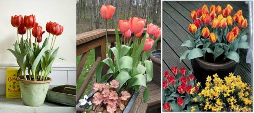 tulips hor